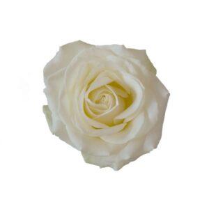 Vit ros. Välj själv hur många vita rosor du vill skicka. Ett alternativ hos Interflora.