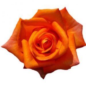 Orange ros, Florister i Sverige. Bestäm antal rosor själv - välj mellan buketter med tre, fyra, fem eller sju orange rosor!