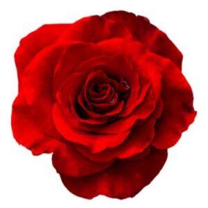 Röda rosor - bestäm antal själv. Skicka blommorna med bud via Florister i Sverige
